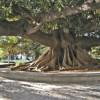 Cuáles son los cinco árboles más antiguos de la Ciudad