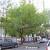 Cuáles son los árboles aptos para la Ciudad